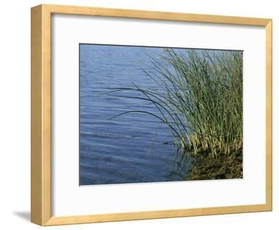 Reeds Along the Shore of Black Hill Lake, Black Hill Regional Park