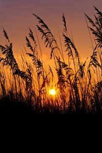 Sea Grass Silhouetted At Sunrise by Brian Gordon Green