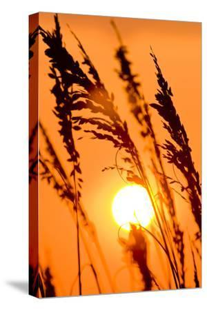 Sea Grass Silhouetted At Sunrise