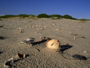 Seashells Litter the Beach at Ocracoke Seashore by Brian Gordon Green