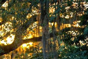 Spanish Moss Hanging from the Branches of a Tree at Sunset by Brian Gordon Green