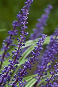Spikes of Violet-Blue Flowers Grow from Liriope Plants by Brian Gordon Green