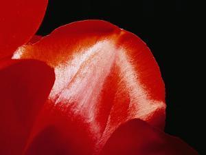 Sunlight Shines on Red Tulip Petals by Brian Gordon Green