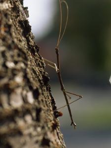 Walking Stick Insect Clings to Tree Bark by Brian Gordon Green