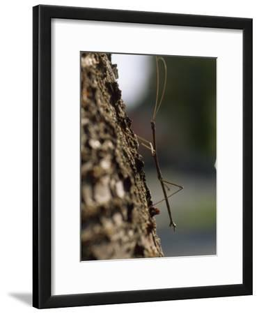 Walking Stick Insect Clings to Tree Bark