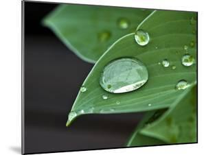 Water Droplets on a Blue Cadet Hosta Leaf by Brian Gordon Green