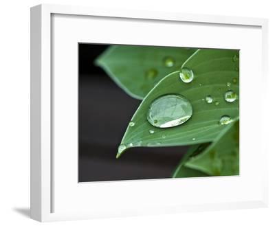 Water Droplets on a Blue Cadet Hosta Leaf