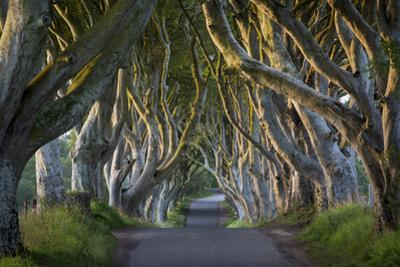 Beech Tree-Lined Road known as the Dark Hedges Near Stanocum, County Antrim, Northern Ireland, Uk by Brian Jannsen
