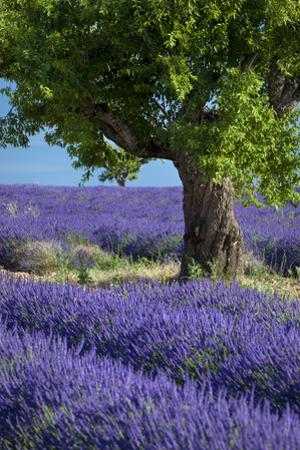 Lone tree in field of purple lavender near Valensole, Provence, France by Brian Jannsen