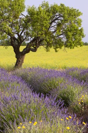 Lone Tree, Lavender and Mustard Fields Near Valensole, Provence, France by Brian Jannsen