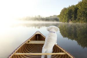 Small White Cockapoo Dog Navigating from the Bow of a Canoe on a Misty Lake - Ontario, Canada by Brian Lasenby