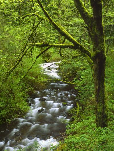 Bridal Veil Creek Flowing Through Forest in Springtime, Mt. Hood National Forest-Steve Terrill-Photographic Print