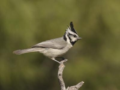 Bridled Titmouse (Baeolophus Wollweberi) on a Branch, Southern Arizona, USA-Charles Melton-Photographic Print