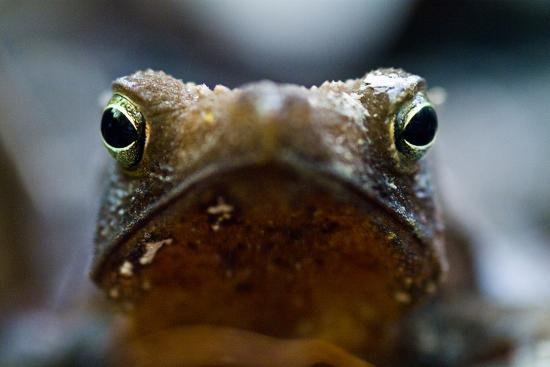 Bright and Sharp, the Eyes of a Crested Forest Toad Hunting in the Amazon Rainforest-Jason Edwards-Photographic Print