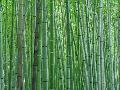 https://imgc.artprintimages.com/img/print/bright-green-bamboo-forest-in-kyoto-japan_u-l-p8aoln0.jpg?p=0
