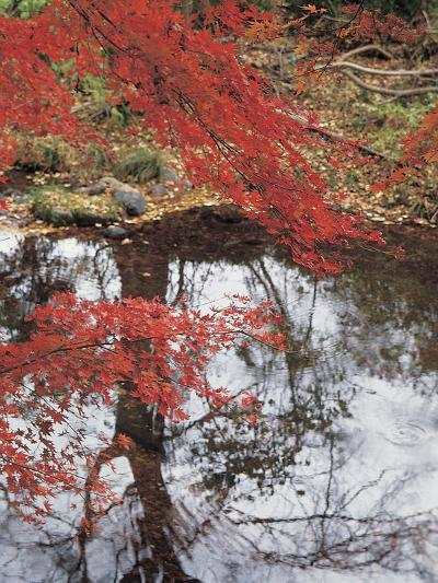 Bright Red Fall Leaves with Reflection in Water--Photographic Print