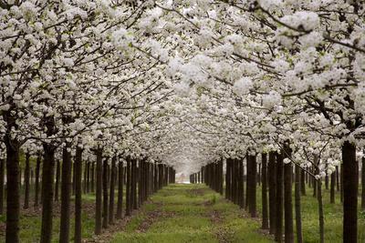 https://imgc.artprintimages.com/img/print/bright-rows-of-blossoming-pear-trees-line-a-nursery-in-spring_u-l-pibfqo0.jpg?p=0