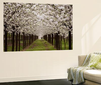 Bright Rows of Blossoming Pear Trees Line a Nursery in Spring-Stephen St^ John-Wall Mural