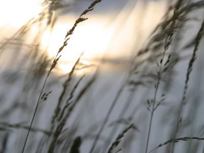 Bright Sunlight Shining on Water Behind a Silhouete of Tall Prarie Grass--Photographic Print