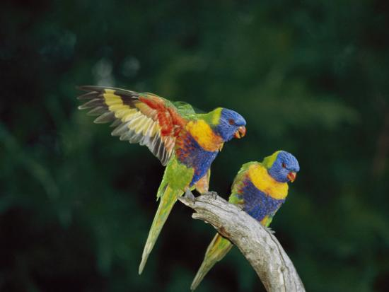 Brightly Colored Lorikeets Perch on a Branch-Nicole Duplaix-Photographic Print