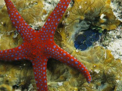Brightly-Colored Starfish near a Small Imbedded Clam-Tim Laman-Photographic Print