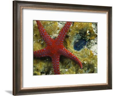 Brightly-Colored Starfish near a Small Imbedded Clam-Tim Laman-Framed Photographic Print