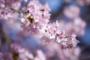 Branch of Cherry Blossoms by Brigitte Protzel