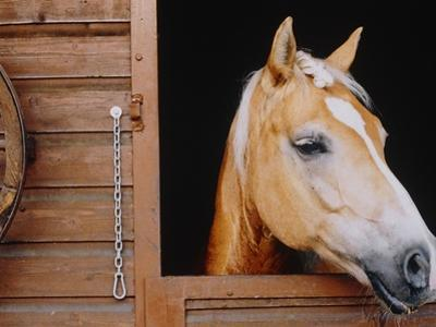 Horse sticking head out stable window by Brigitte Sporrer