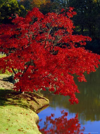 Brilliant Red Acer Palmatum Cripsii in Autumn, Sheffield Park Gardens, East Sussex, England-Ruth Tomlinson-Photographic Print
