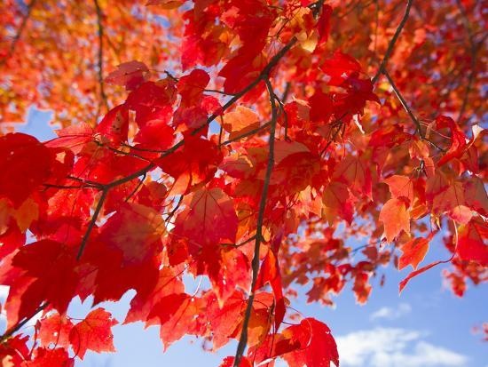 Brilliant Red Leaves On A Sugar Maple Tree During Autumn