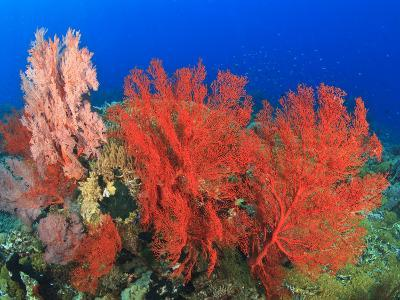 Brilliant Red Sea Fans, Komba Island, Flores Sea, Indonesia-Stuart Westmorland-Photographic Print