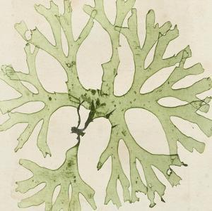 Brilliant Seaweed III