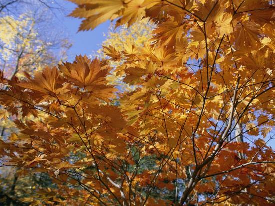 Brilliant Yellow Japanese Maples (Acer Japonicum) Exhibit Fall Colors-Darlyne A^ Murawski-Photographic Print