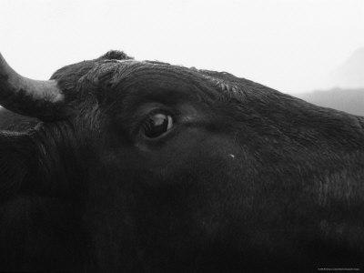 Bull Walking in the Streets, Svalbard, Norway