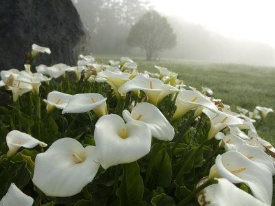 Calla Lilies, Bolinas, California