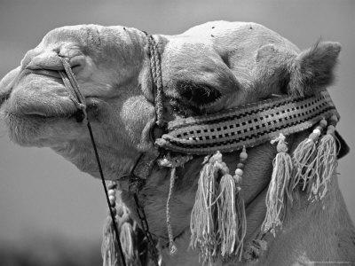 Israel, Jerusalem: Profile of a Camel on the Street