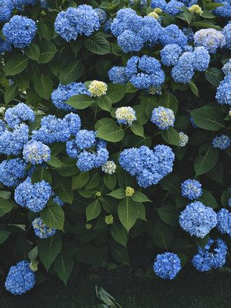 Nature Scene of Blue Hydrangeas in Blythedale Park, Mill Valley, Mill Valley, California