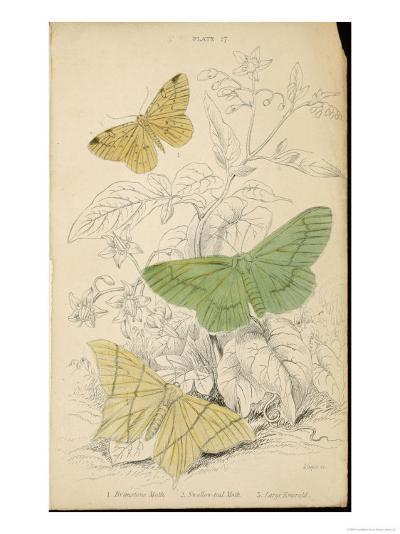 Brimstone Moth Swallowtail Moth Large Emerald- Lizars-Giclee Print