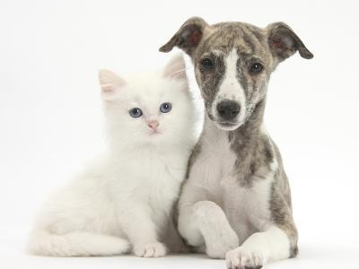 Brindle-And-White Whippet Puppy, 9 Weeks, with White Maine Coon-Cross Kitten-Mark Taylor-Photographic Print
