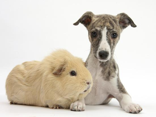 Brindle-And-White Whippet Puppy, 9 Weeks, with Yellow Guinea Pig-Mark Taylor-Photographic Print