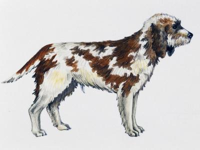 Briquet Griffon Vendeen (Canis Lupus), Canidae--Giclee Print