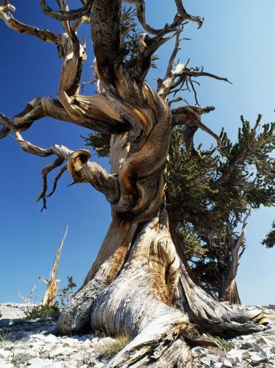 Bristlecone Pine, Ancient Tree-Jeff Foott-Photographic Print