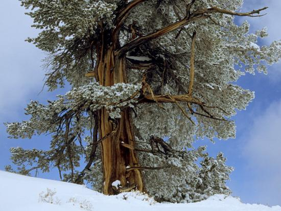 Bristlecone Pine Tree Blanketed in Snow, California-Tim Laman-Photographic Print