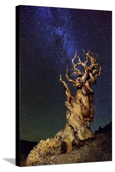 Bristlecone Pine-Tanja Ghirardini-Stretched Canvas Print