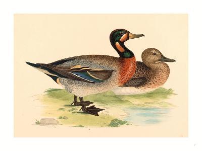 British 19th Century, Bimaculated Duck, 1855--Giclee Print