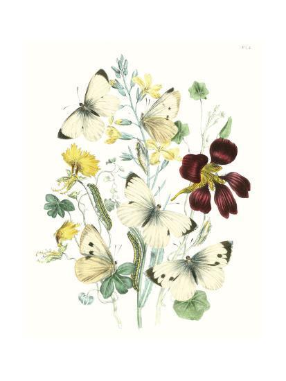 British Butterflies IV-Unknown-Art Print