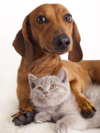 https://imgc.artprintimages.com/img/print/british-kitten-and-dog-dachshund_u-l-q103fw80.jpg?p=0