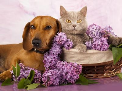 British Kitten Rare Color (Lilac) And Puppy Red Dachshund, Cat And Dog-Lilun-Photographic Print