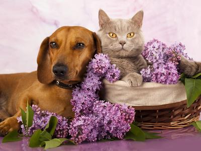 https://imgc.artprintimages.com/img/print/british-kitten-rare-color-lilac-and-puppy-red-dachshund-cat-and-dog_u-l-q1038d90.jpg?p=0