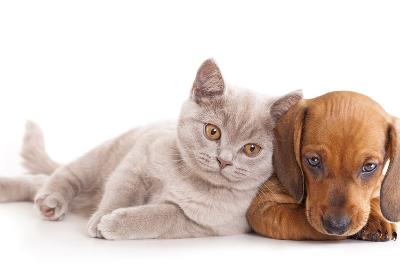 British Kitten Rare Color (Lilac) and Puppy Red Dachshund-Lilun-Photographic Print